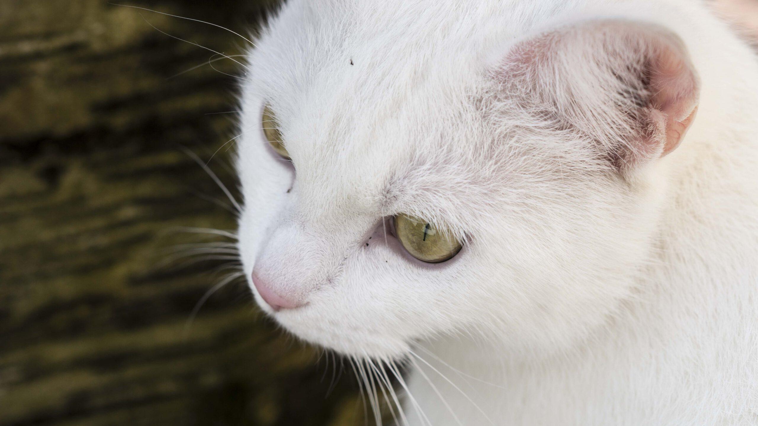 weiße Katze mit gutem Gehör